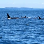 San Juan Flotilla 2016 - Orcas