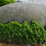 Could Algae Save the World?